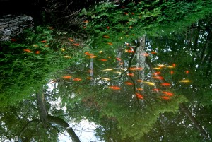 goldfish tree reflection